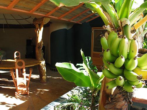 Un bananier pousse dans un géonef, quelle que soit la température extérieure
